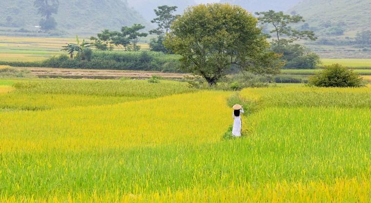 Hình ảnh cánh đồng lúa đẹpa