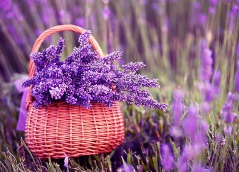 Hoa lavender - Hoa oải Hương