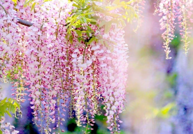 Ý nghĩa hoa Tử Đằng